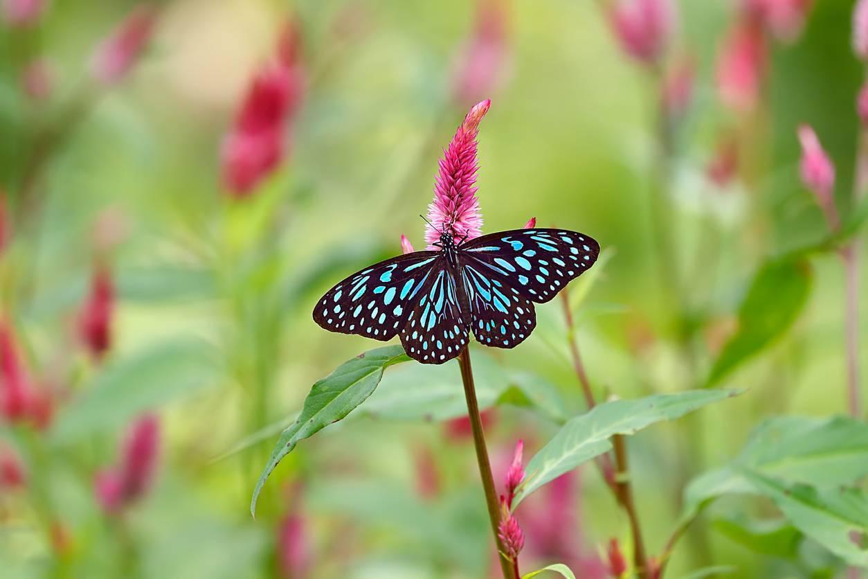 rôle écologique des papillons