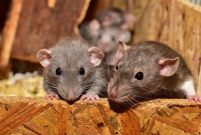 Le fléau des rats à Paris