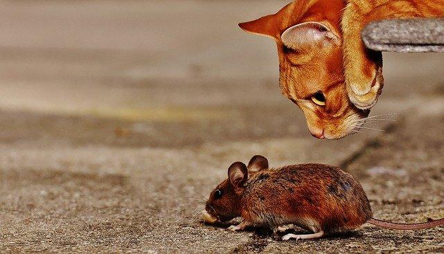 rongeur chat souris
